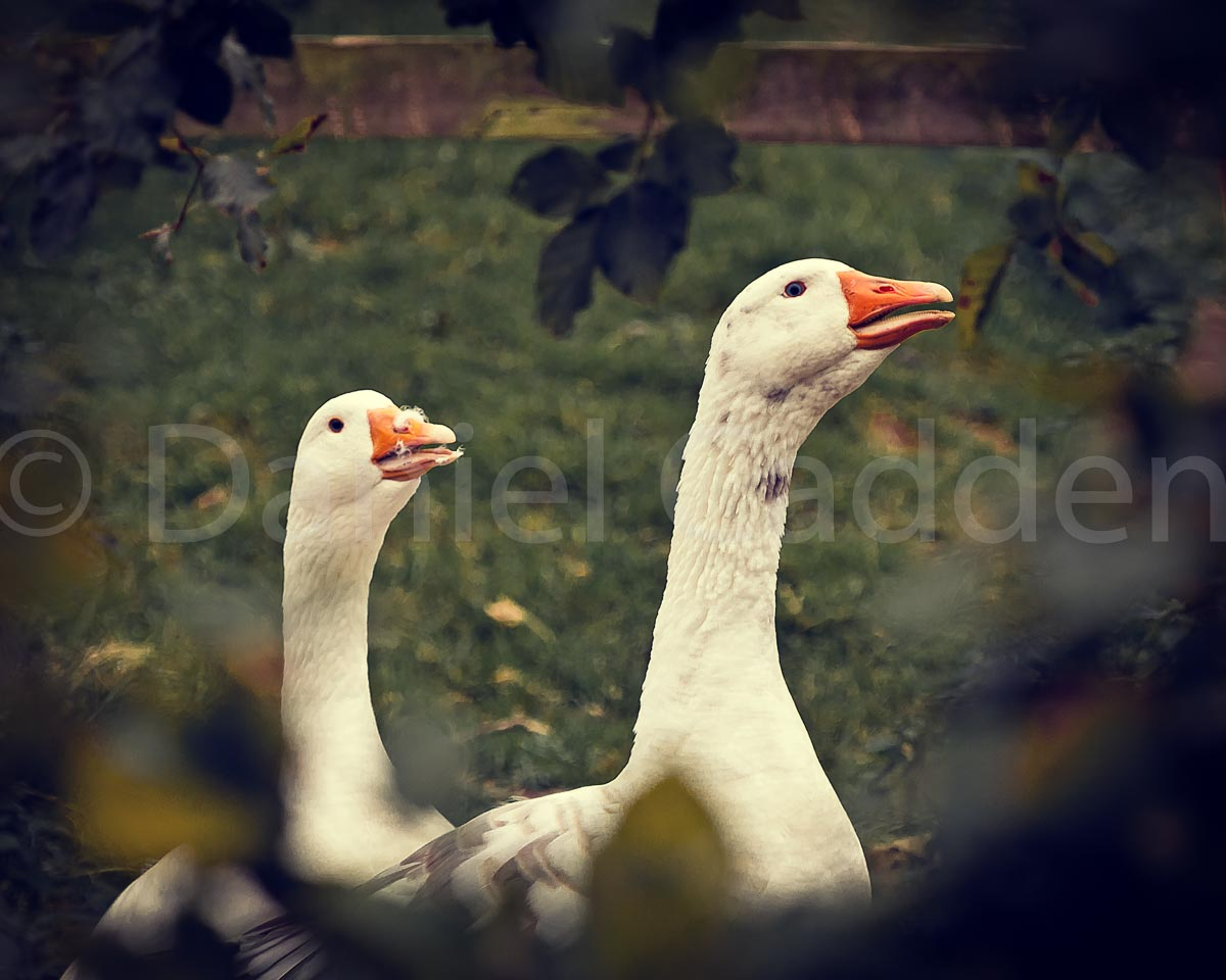 Photograph of some geese