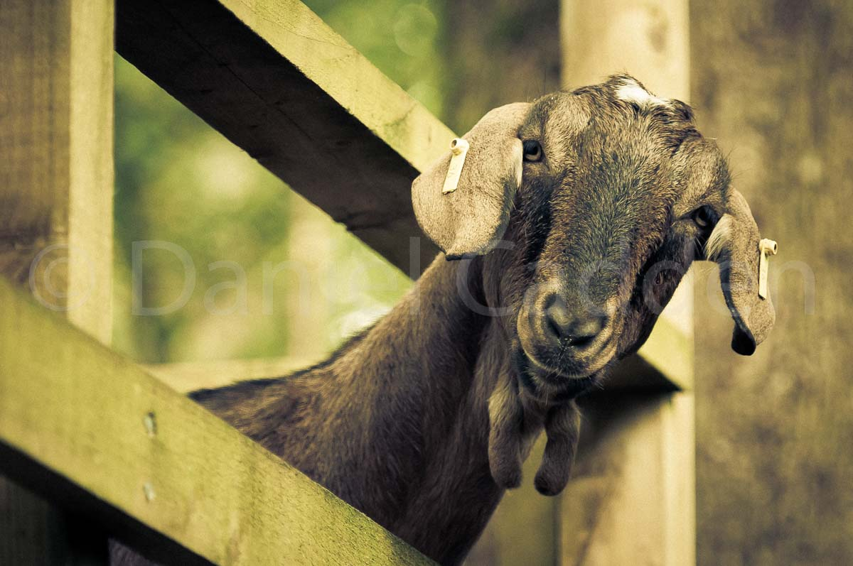 Photograph of a goat