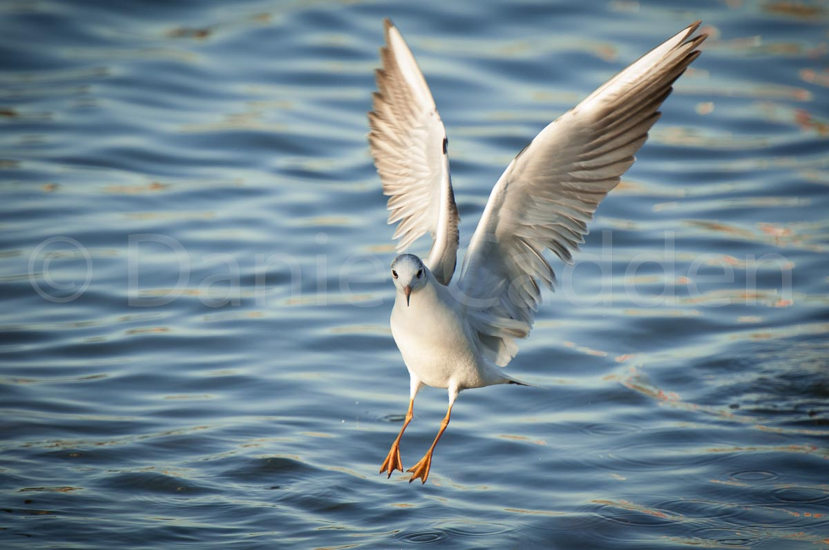 A photograph of a seagull landing on water